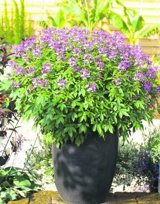 """Die exotisch anmutenden Blüten und die elegante Gestalt machen """"Señorita Rosalita"""" zum Blickfang im Garten und auf dem Balkon. Foto: GMH"""