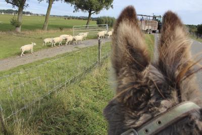 Der erste Teil des Weges führt am Lek-Deich entlang. Esel Timo beobachtet neugierig, wie ein Bauer seine Schafe zusammentreibt.