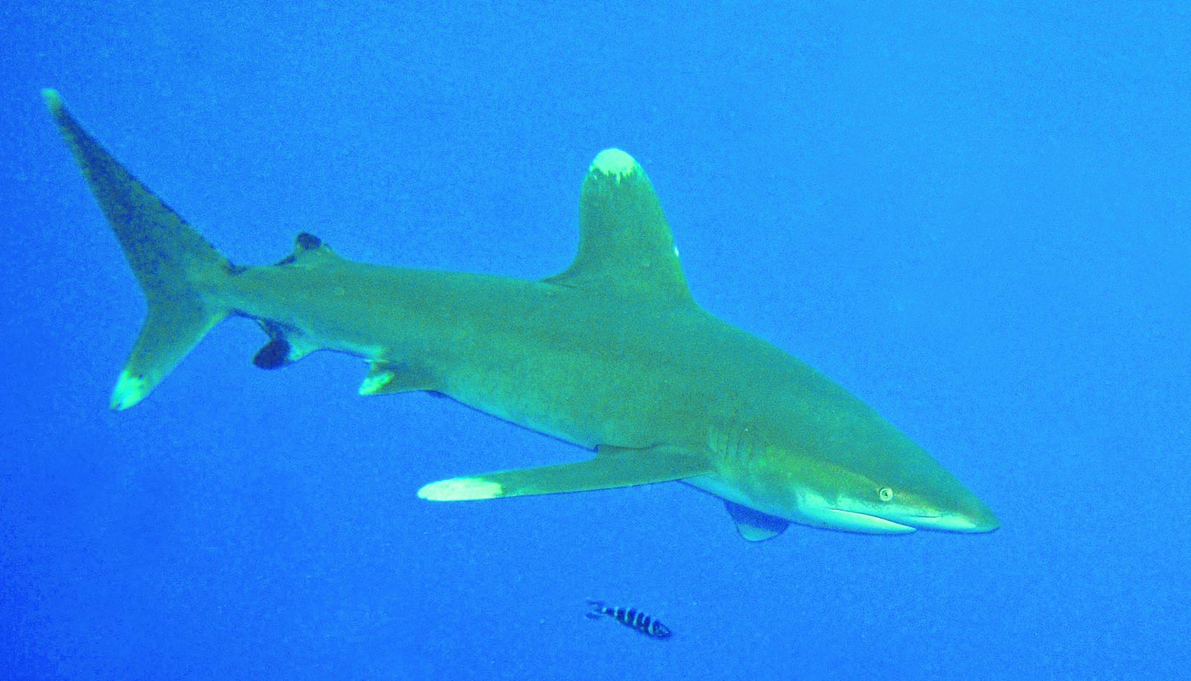 Haie und kleine fische im roten meer niederrhein for Kleine fische