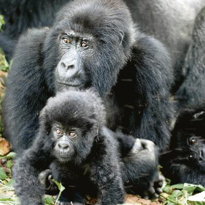 Der Berggorilla zählt zu den am stärksten vom Aussterben bedrohten Affen weltweit. Foto: Dr. Refisch